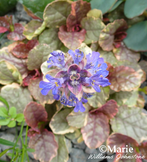 Ajuga Burgundy Glow foliage and purple spire flower