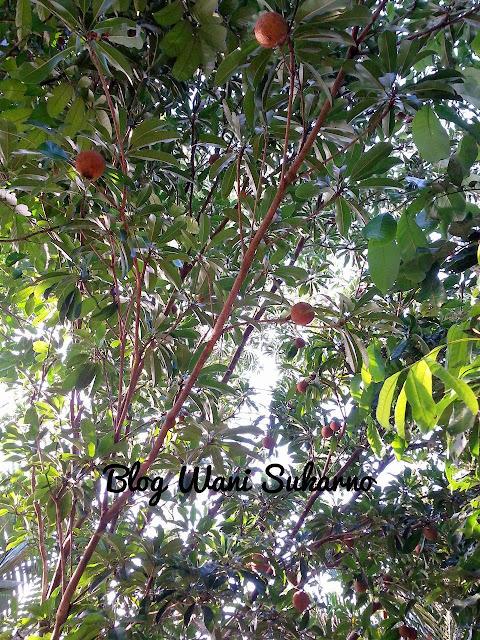 buah ciku