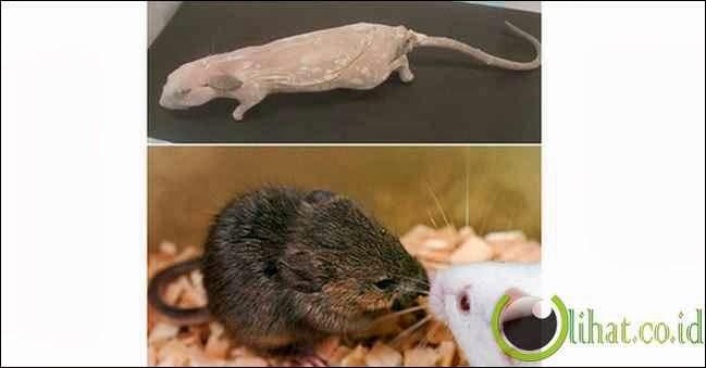 'Menghidupkan Kembali' Tikus Mati