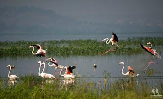 बड़ोपल झील देशी व विदेशी पक्षियों की पसंदीदा शरणस्थली बना