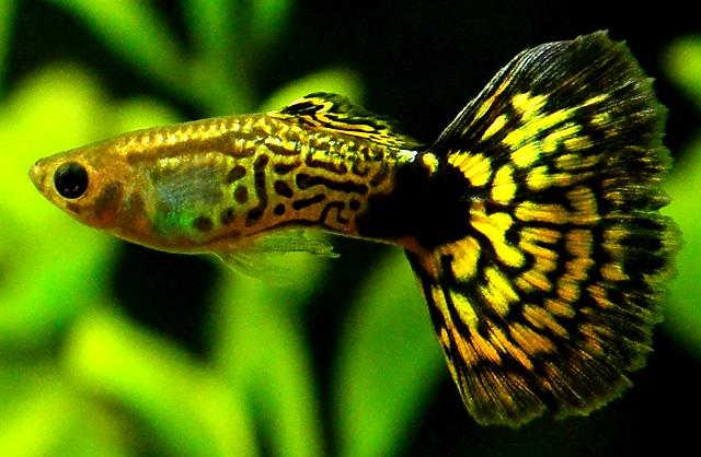Ikan Guppy Cobra Hijau - Cara Budidaya Ikan