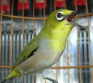Perawatan Burung Pleci - Merawat Burung Pleci Jawara Ala Ikhsan Jakarta (Ahlinya Jawara Pleci)