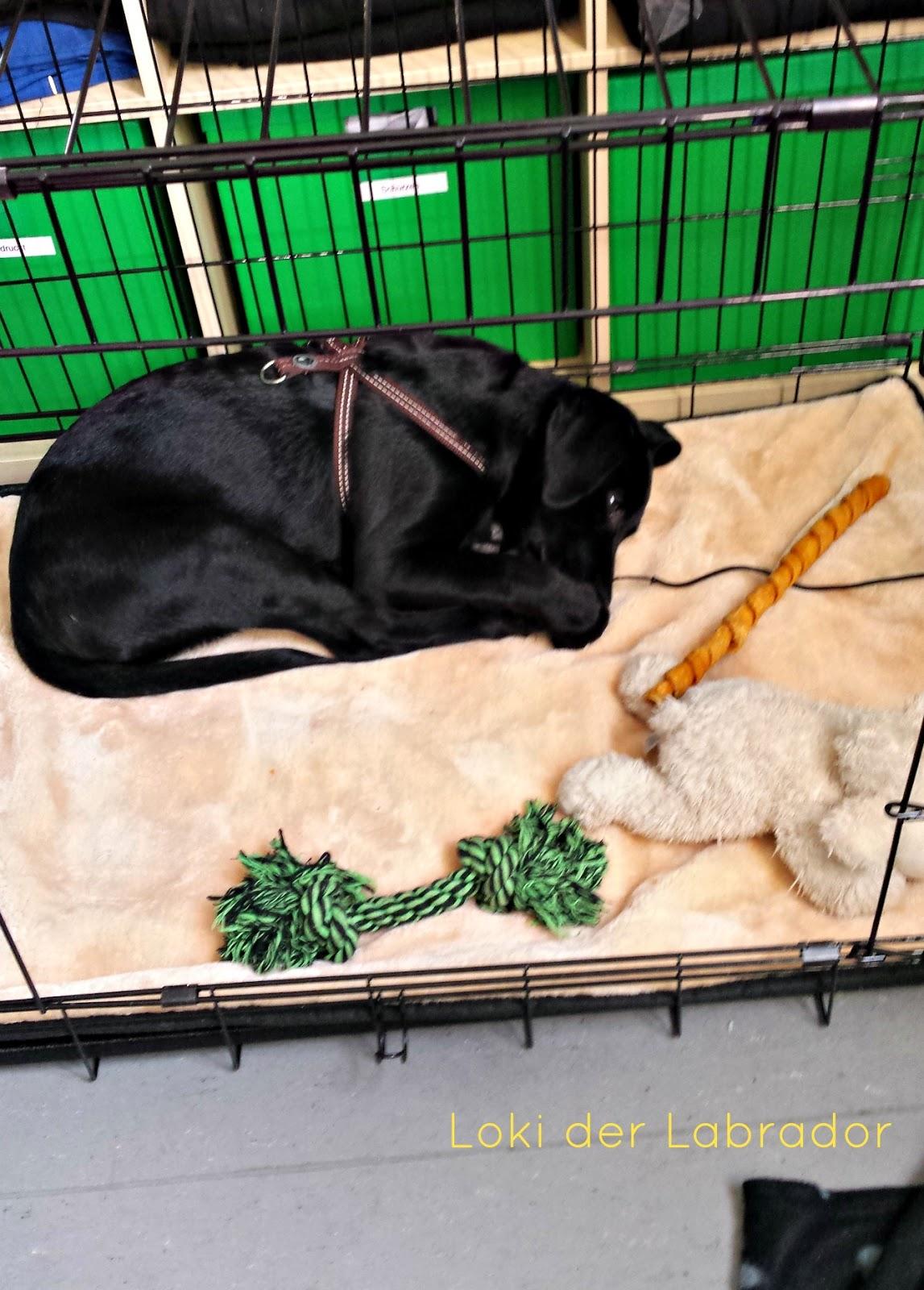 Labrador Welpe Büro