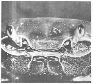 Mata majernuk pada tangkai yang dapat digerakkan memberikan horison penglihatan 360 derajat pada ketam canggah ini.