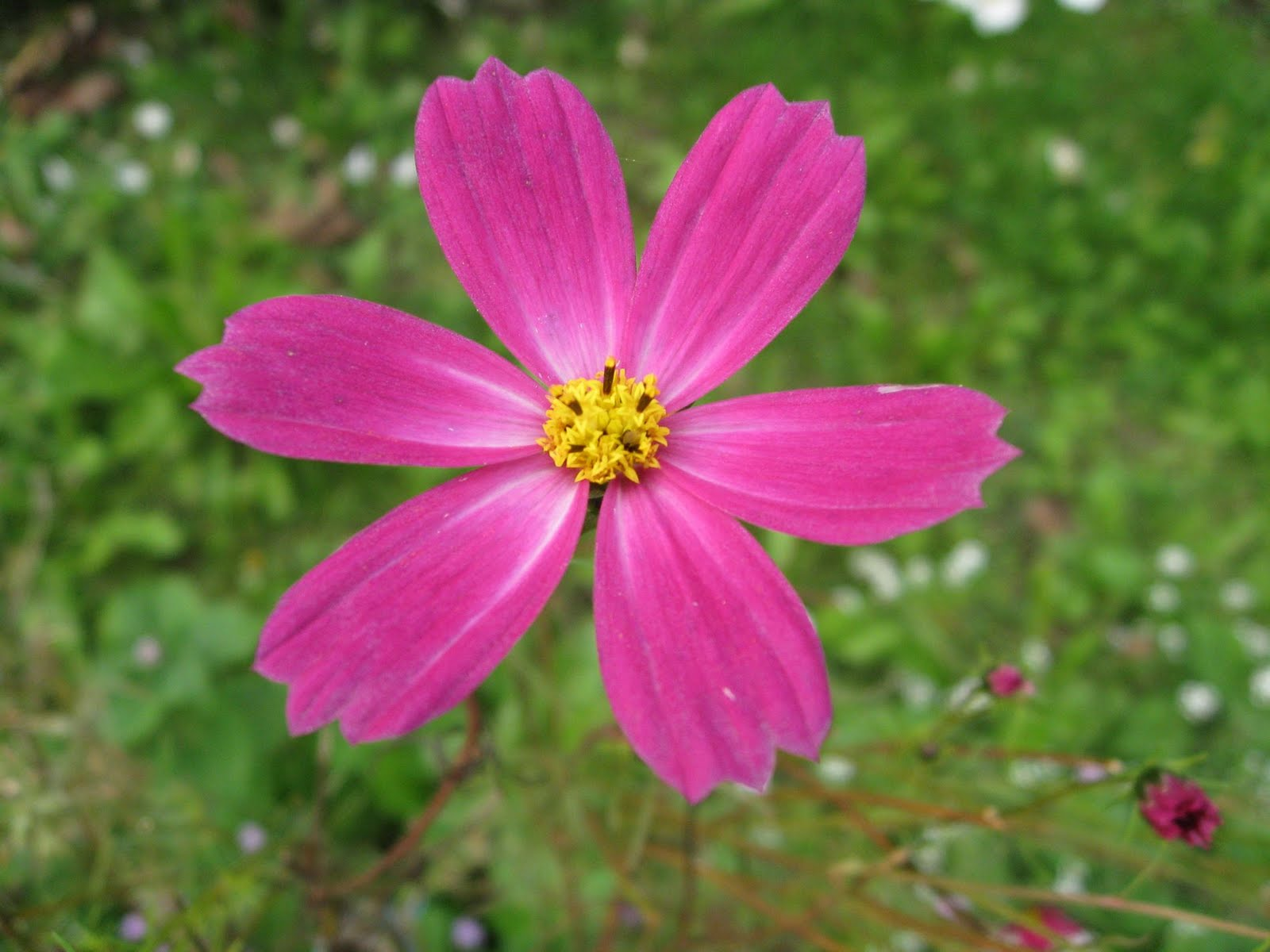 Flower Picture: Daisy Flower # 3