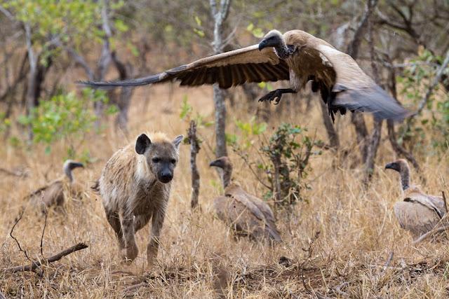 Hiena y buitre en el Kruger, Sudáfrica