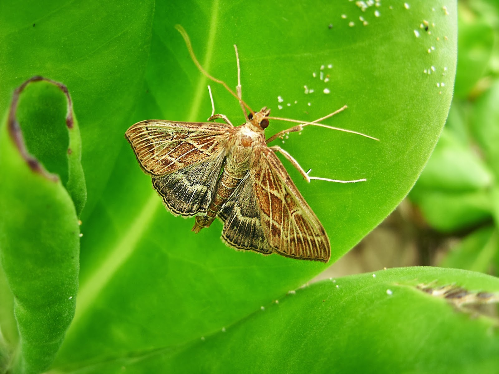 Ironwood: Butterflies and moths by Siwa - photo#32
