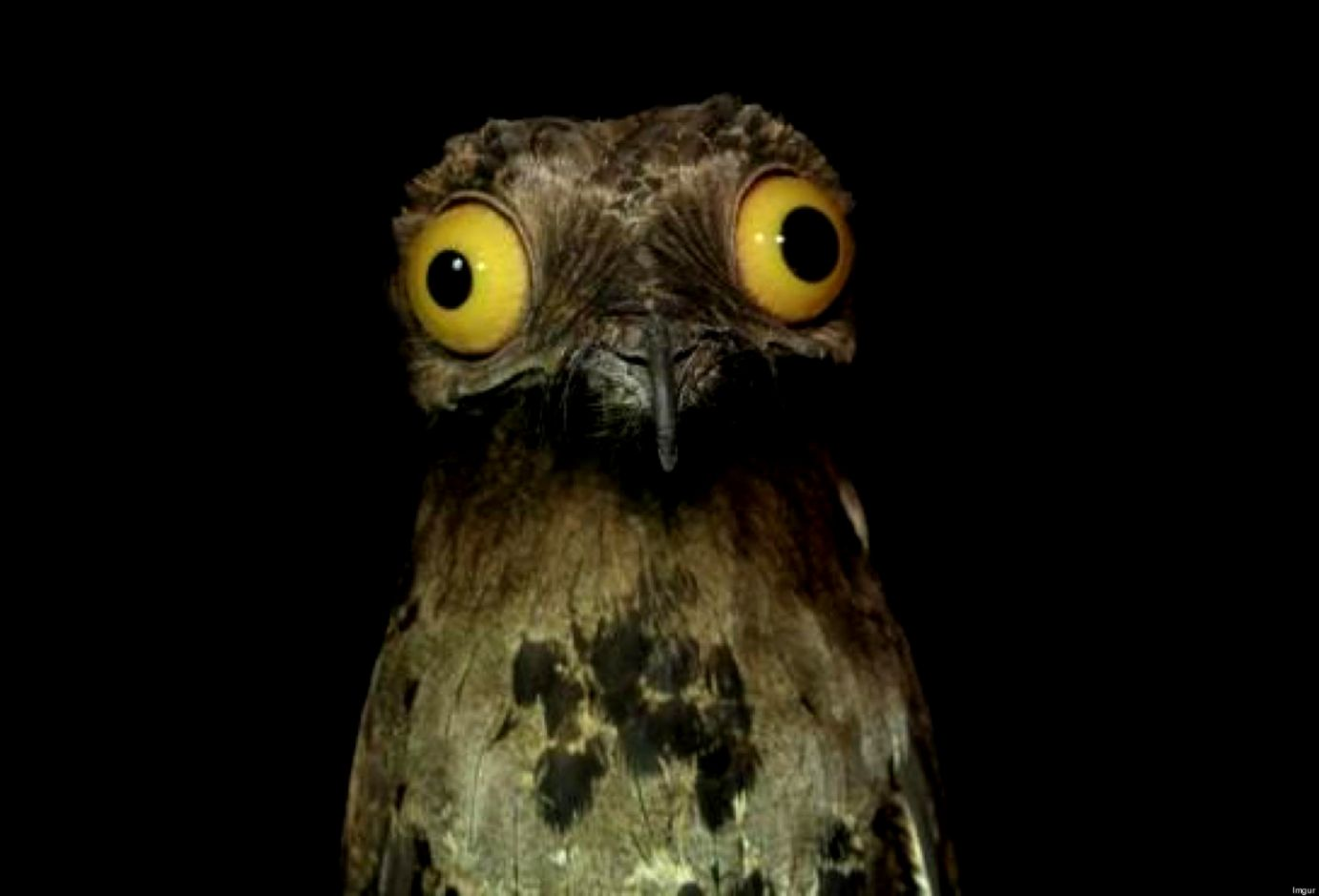 potoo funny bird wallpaper | high definitions wallpapers