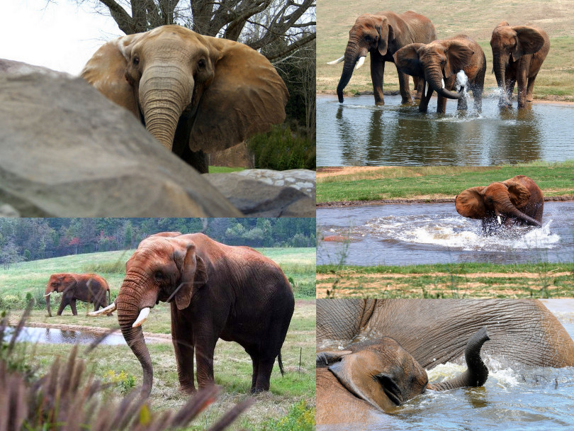 Info Hewan Tumbuhan Prasejarah Apa Perbedaan Gajah Asia Dengan