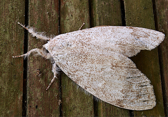white moth, photography,close-up,