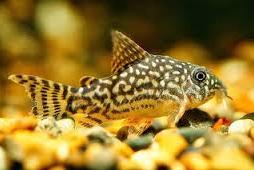 coridoras Ikan Hias Air Tawar Yang Bisa Dicampur Pada Satu Akuarium
