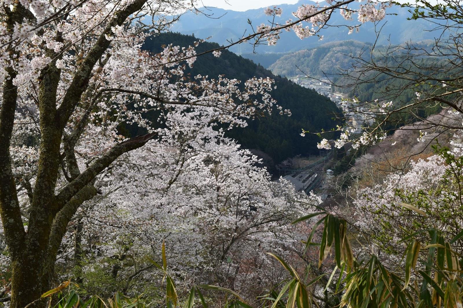Cherry blossom Yoshinoyama
