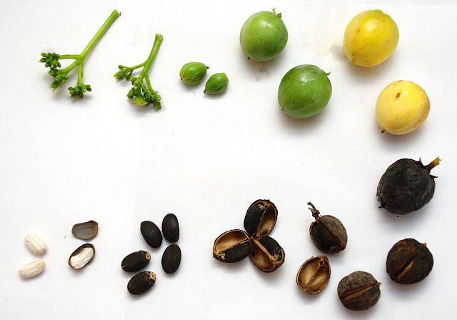 Quả và hạt Đậu Cọc Rào - Jatropha curcas - Nguyên liệu làm thuốc Nhuận Tràng và Tẩy