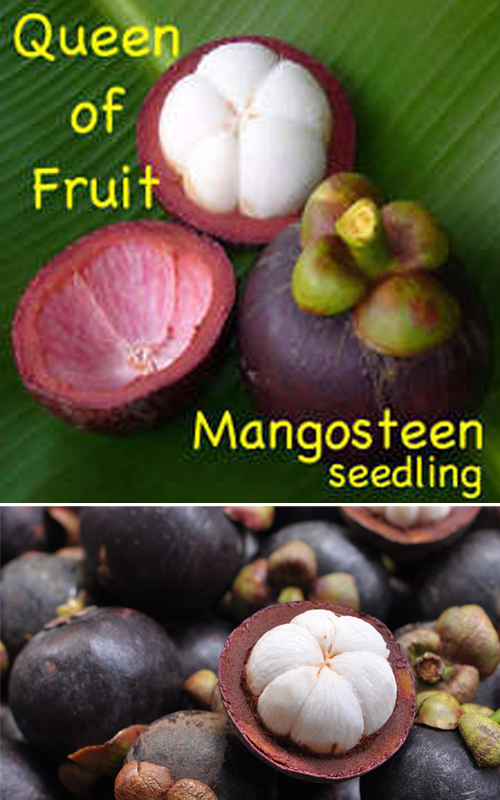 How to Grow a Healthy Mangosteen, Growing Mangosteen From ...