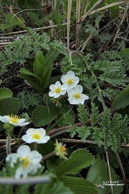 エゾクサイチゴ ≪Strawberry genus≫
