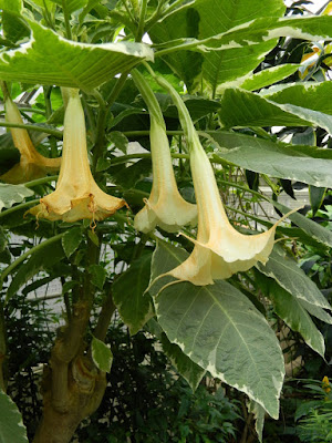 Brugmansia Angel's Trumpet at the Allan Gardens Conservatory by garden muses-not another Toronto gardening blog