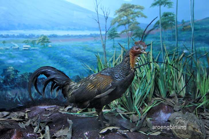 ayam hutan merah museum zoologi bogor