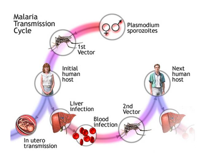 cholera transmission cycle - photo #39