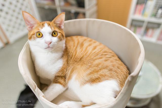 西国分寺シェルターのキャットタワーにいた茶白の猫