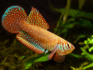 Dunia Ikan Hias - Killifish