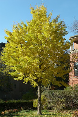 ginkgo biloba yellow fall colour at paul kane house paul jung toronto organic ecological gardening services