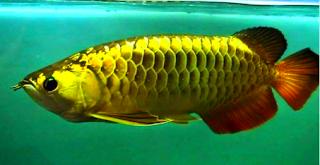 cara budidaya ikan arwana golden black
