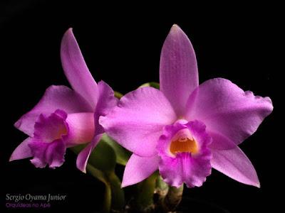 Orquídea Laelia alaorii x Laelia sincorana