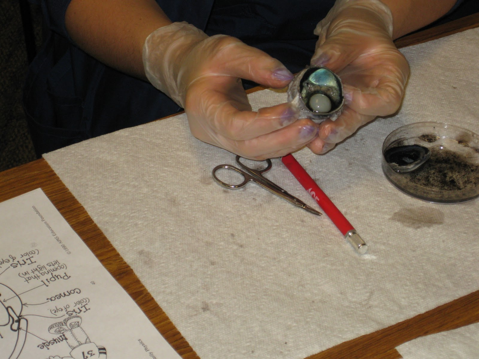 Mrs Campbell S Blog Eye Dissection