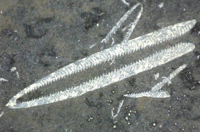 Didymograptus murchisoni