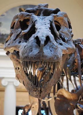 التيرانوصور Tyrannosaurus Sue_TRex_Skull_Full_Frontal