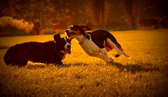 w parku z psem, spacer z psem, spacer z psem w parku, park szymańskiego, psie zabawy, psie gonitwy, welsh corgi, welsh corgi cardigan, corgi, cardigan, yuma