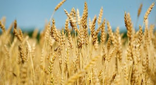Government starts procuring wheat from 1st April - Punjab Insight