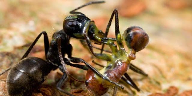 Camponotus-saundersi