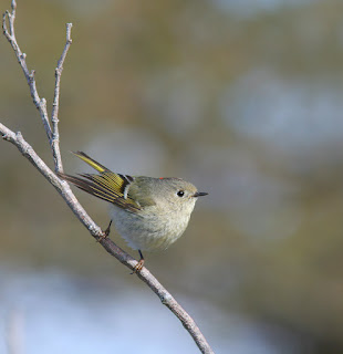 Ruby-crowned Kinglet, while birding in newfoundland