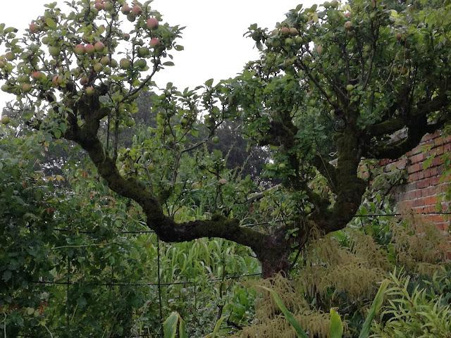 stare drzewa owocowe
