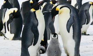 Cuccioli di pinguini