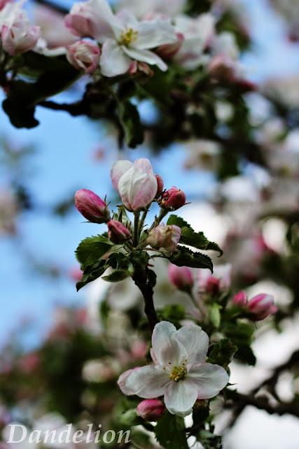 http://dandelion01.blogspot.de/2014/04/spring-blossoms.html