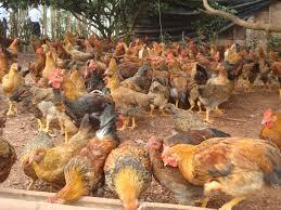 Khẩu phần thức ăn cho gà thả vườn