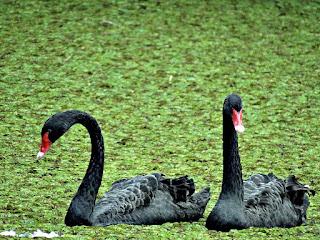 Cisnes Negros no Lago da Ponte - Jardim Botânico de Porto Alegre