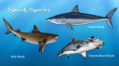 Sharks Species Gulf of Mexico