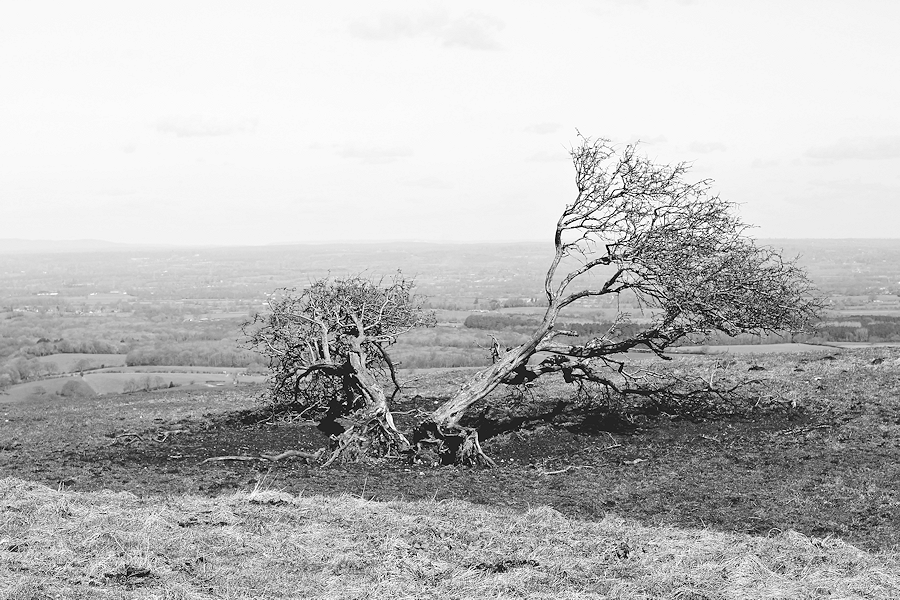 Wind-beaten Tree at Devil's Dyke
