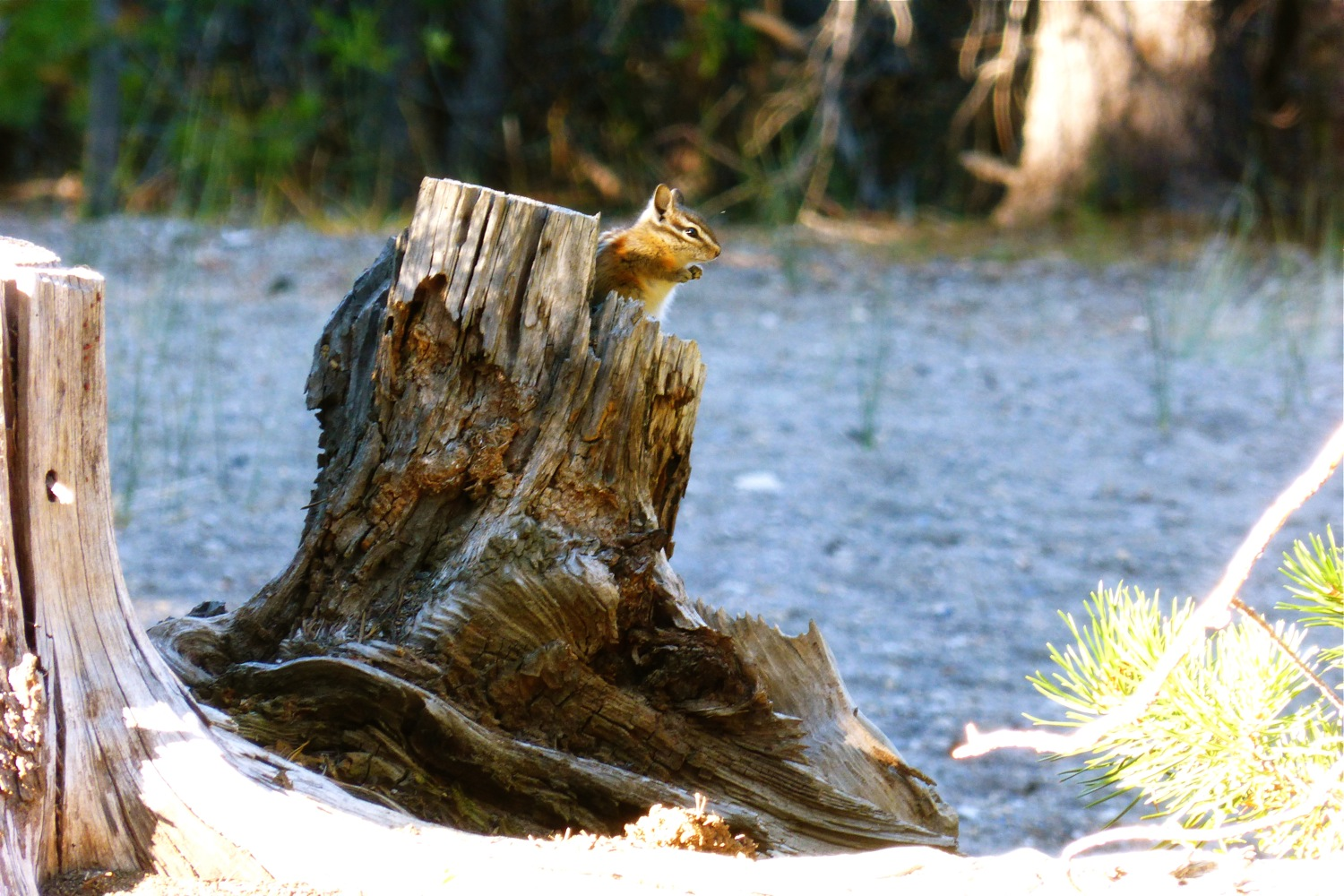 Golden Manteld Ground Squirrel Newberry National Volcanic Monument, Chipmunk Newberry National Volcanic Monument, Cinder Hill Campground Newberry National Volcanic Monument