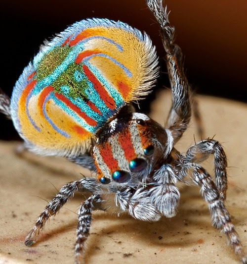 Foto araña con diseño colorido: araña pavo real