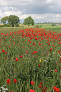poppy field in Normandie