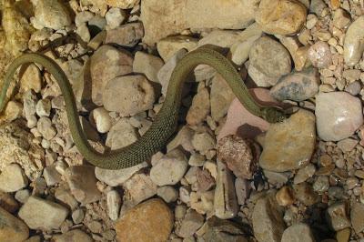 Serpiente , serp , Beceite, Beseit, agua, aigua