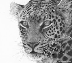 realistic animal drawing leopard hyper drawings animals maasai pencil wildlife bing african colour
