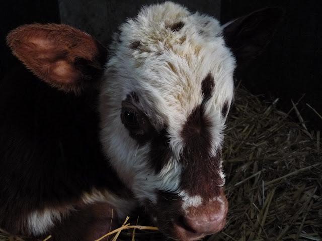 Organic Normandy calf