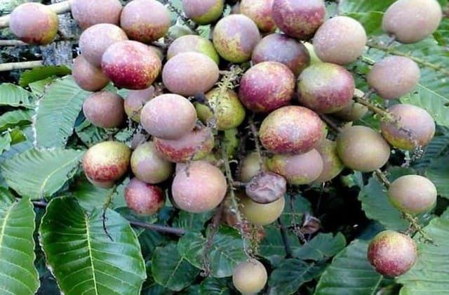 Kandungan gizi buah matoa yang bikin manfaatnya nggak tanggung-tanggung