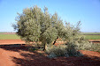 Pruning olive trees