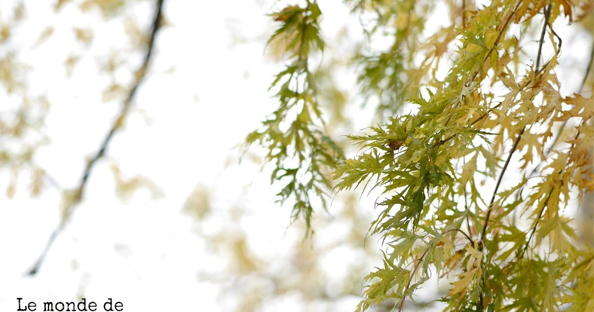Le monde de Kitchi: Mein Freund, der Baum: Geschlitzter Silberahorn